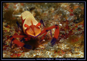 Face to face with this Imperial Schrimp... Lembeh Strait.... by Michel Lonfat