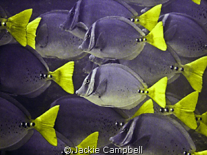 Razor Surgeonfish in the Galapagos. Canon Ixus 700 and i... by Jackie Campbell