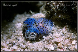 Bobtail Squid.Nikon F100,60mm,f27,1/125,Inon Z-240,RVP100. by Allen Lee