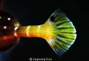 Tail of Trumpet Fish by Jagwang Koo