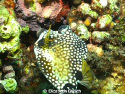 Profile shot of a very friendly trunk fish nibbling on th... by Elizabeth Ehrlich