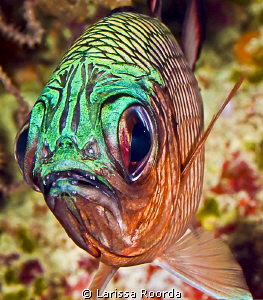 """""""Ugly Stick?  Nah.  Soldierfish"""". by Larissa Roorda"""