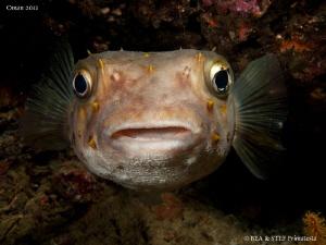 Porcupinefish (Cyclichthys spilostylus). by Bea & Stef Primatesta