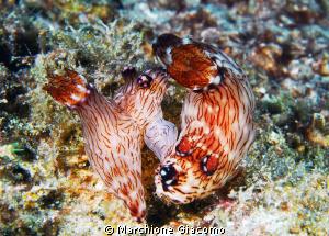 Lovers Nikon D200 , 60 micro, ywo strobo Komodo Island by Marchione Giacomo