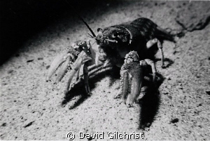 Crayfish sp. near the wreck of the 'Sweepstakes', Big Tub... by David Gilchrist