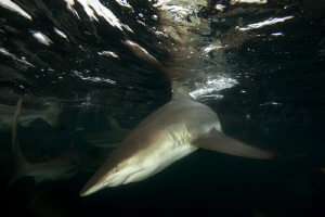 Black tip at its best, fast and extremely agile!  by Allen Walker