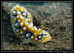 Relaxed Phyllidia ocellata by Raoul Caprez