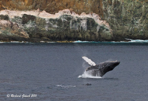 Humpback Whale breaching at Socorro  Island Mexico. by Richard Goluch