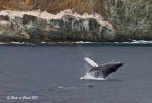 Humpback Whale breaching at Socorro  Island Mexico. by Richard Goluch