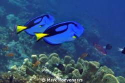 A couple of Palette Surgeonfish, or as I like to call the... by Mark Hoevenaars