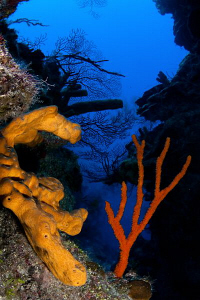 CFWA of yellow & red sponges set against the glorious blu... by Paul Colley