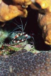 Banded Coral Shrimp. Cozumel. by Jacques Miller