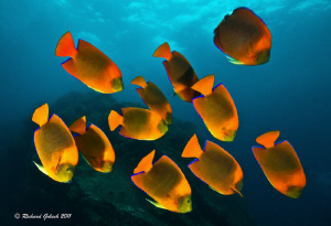 Clarion Angelfish,Socorro Island Mexico by Richard Goluch