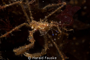 spidercrab fund during a night dive. tamron 90, f20, 160