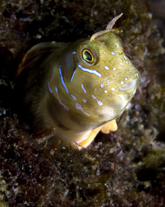 Blenny. First attemp with a self-made snout. The snout li... by Rico Besserdich