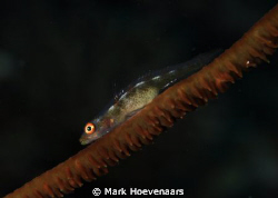 Wire Coral Goby by Mark Hoevenaars