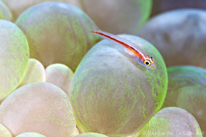 goby on bubble coral by Eunjae Im