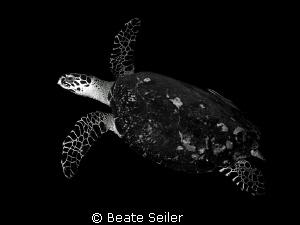 Turtle in B & W by Beate Seiler