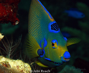 """Little Queenie"" from Utila, Honduras. ( Holacanthus Cili... by John Roach"