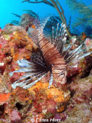 LION FISH VIEW @ LA CHIMENEA LAJAS, P.R. by Carlos Pérez