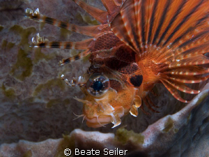 Lionfish taken with Canon G10 and UCL165 by Beate Seiler