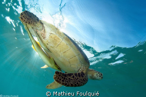 Green turtle and its 2 remoras by Mathieu Foulquié