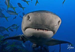 See the lines on my face? This Lemon Shark examines its f... by Steven Anderson