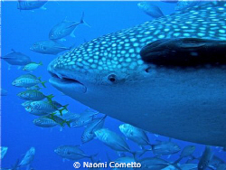 My first whale shark!!!!! by Naomi Cometto