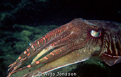 Male cuttlefish at the Andaman Sea by Wiljo Jonsson