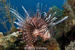 Explosion of lionfish in Roatan, see them on every dive by Larry Polster