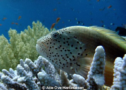 Amazing to find this hawkfish so calm resting in the corals. by Atle Ove Martinussen