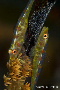 Two Whip gobies in the process of laying eggs. by Graeme Cole