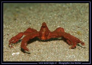 A well combed Orang-Utan crab on the sand of Lembeh Strai... by Michel Lonfat