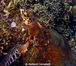 Turtle the (reef master)---sealife-dc-1000..hes been arou... by Richard Campbell
