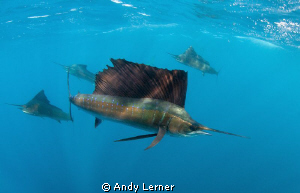 Sailfish on the hunt by Andy Lerner