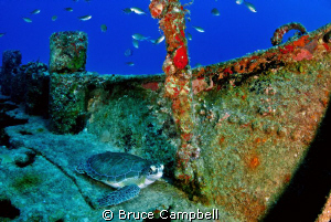 Turtle on the deck of the M.V. Commerce by Bruce Campbell