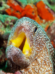 Moray eel portrait II, yellowmouth moray (Gymnothorax nud... by Bea & Stef Primatesta