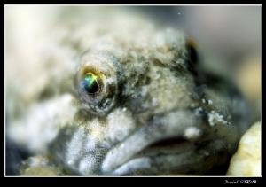 Cottus Gobio - the eye is just magnificent :-D by Daniel Strub
