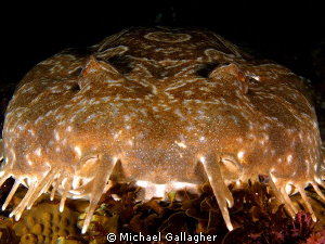 Close-up of a wobbegong shark, Byron Bay, Australia by Michael Gallagher