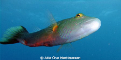 This bandcheek wrasse followed me for a long time and che... by Atle Ove Martinussen