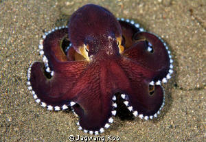Coconut Octopus by Jagwang Koo