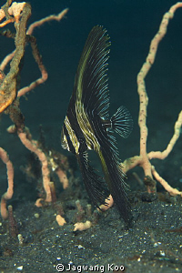 Zebra Fish by Jagwang Koo