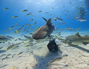 A relentless Tiger Shark makes a pass by after trying to ... by Steven Anderson