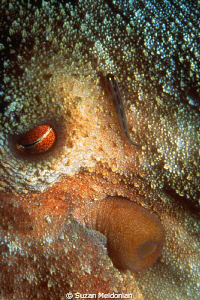 Sleeping Octopus with sharknose blenny also sleeping. Eve... by Suzan Meldonian