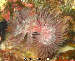 I find tube worms facinating!  I took this picture while ... by Vince Mitchell