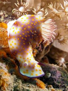 Yellow-dotted sea slug (Risbecia pulchella). by Bea & Stef Primatesta