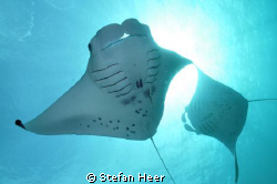 Cam: Nikon; Housing: Uk-Germany; 2 Mantas dancing in fron... by Stefan Heer