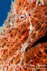 my friend frogfish Francis from Nuweiba by Mona Dienhart