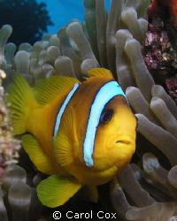 Nemo's Dad by Carol Cox