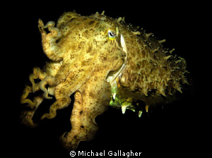 Yellow cuttlefish on a night-dive in Komodo National Park... by Michael Gallagher